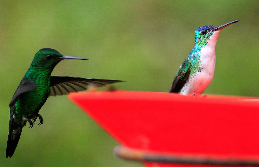 9. Вообще, колибри считается самой ненасытной птицей на Земле — за 16 часов способна пить до 12