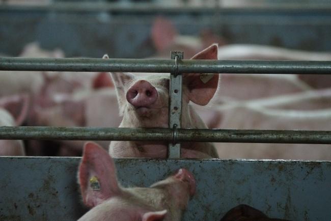 ВСНБО подумают, как противоборствовать африканской чуме свиней