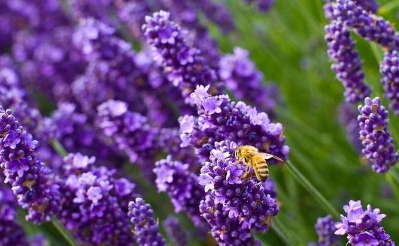 6. Лаванда Красивое растение с успокаивающим ароматом, которое лучше выращивать в горшках (или же по