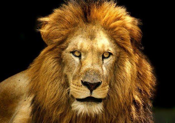 10. 16 место – Лев, PSI: 691 Укус льва не самый сильный и потому он находится всего на 16 месте в на