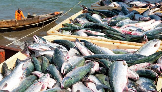 Новый рекорд вылова красной рыбы установлен вХабаровском крае