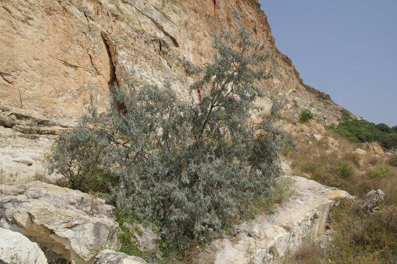 Лох серебристый (Elaeagnus commutata) - похожий на облепиху куст среди камней обрывистого берега Чёрного моря в районе Фиолента