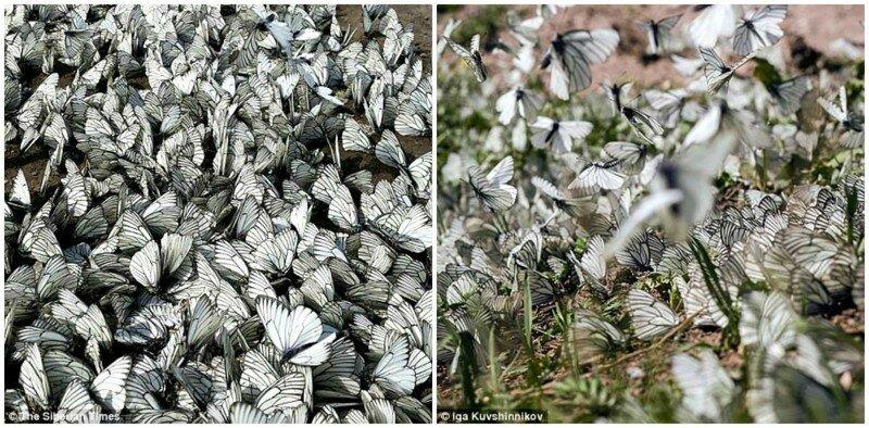 бабочки, живность, насекомые, нашествие, природа, россия, сибирь, фото
