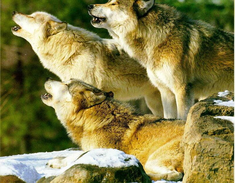 Иерархия у волков фото