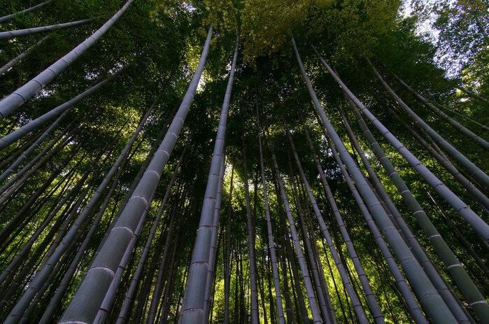 Бамбук   это дерево? Трава, родственник пшеницы ириса