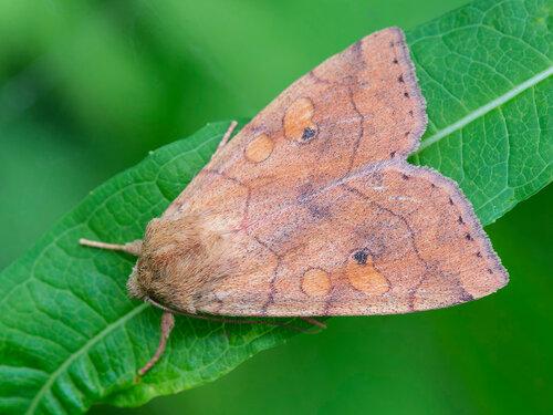 Альбом: Мир под ногами - Чешуекрылые - Lepidoptera -  Noctuidae - Совки Автор фото: Владимир Брюхов