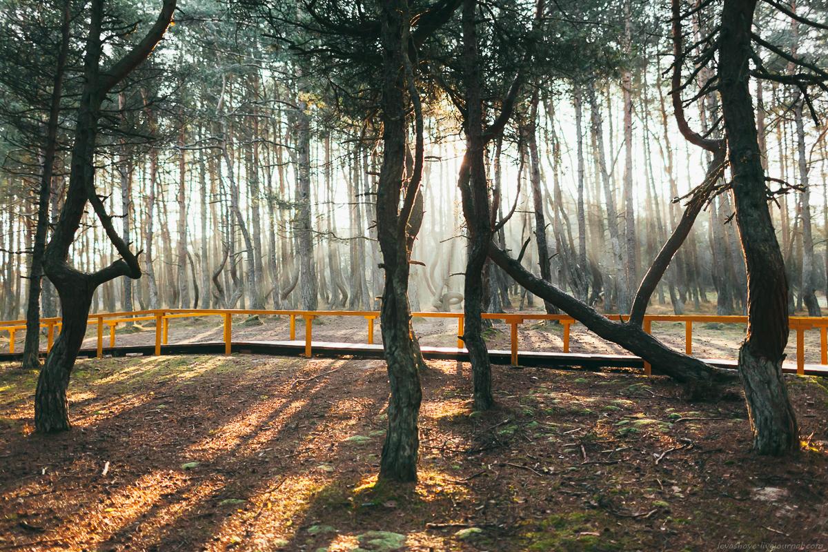 Куршская коса зимой. Танцующий лес и Высота Мюллера
