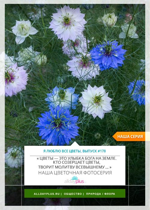 Я люблю все цветы, выпуск 178 | Нигелла  – «Девица в зелени», «Невеста с распущенными волосами», «Любовь в тумане».