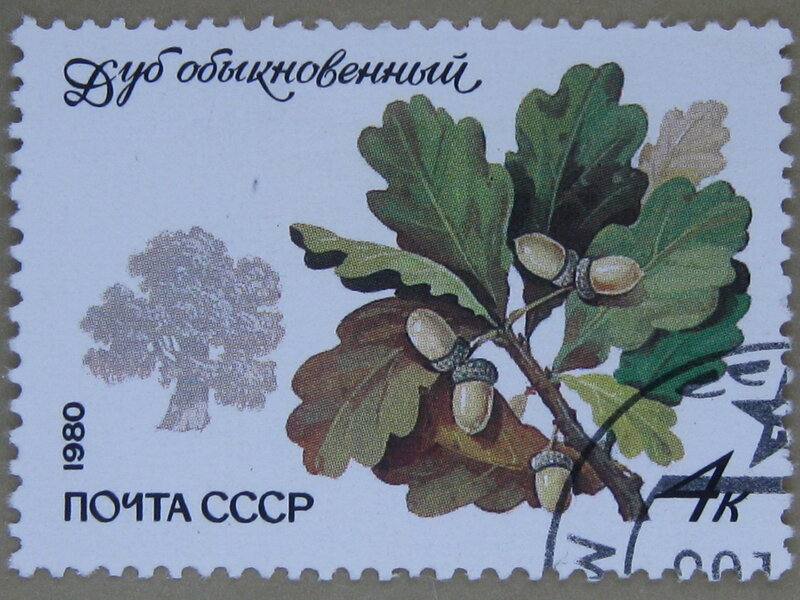 Дуб обыкновенный (Quercus robur).