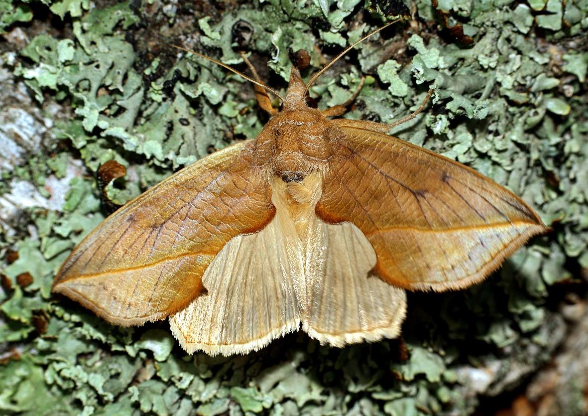 Бабочки кровососы найдены в Сибири