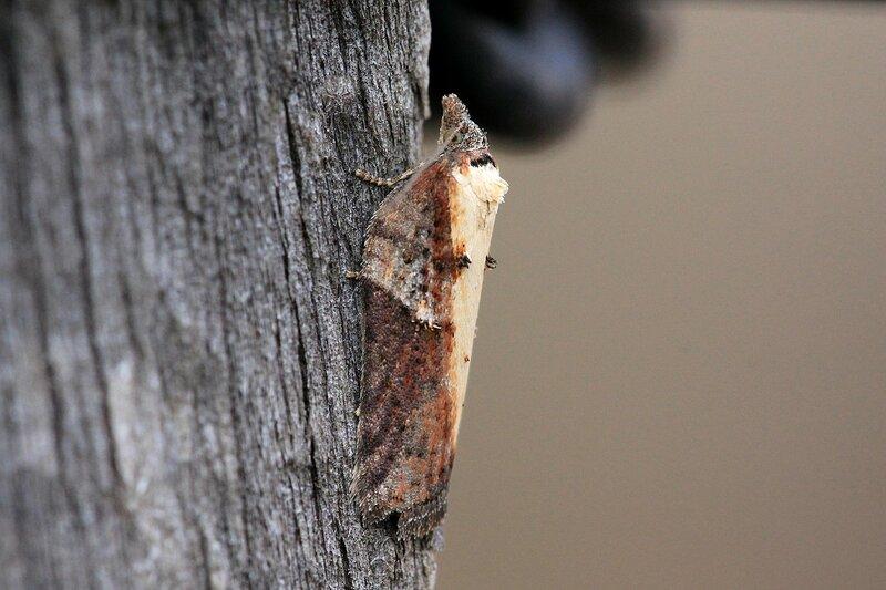 Моль (надсемейство Tineoidea, отряд чешуекрылые) на посеревшей деревянной поверхности
