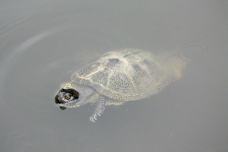 Черепаха болотная-5.JPG