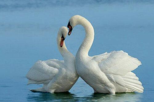 верность лебедей.jpg