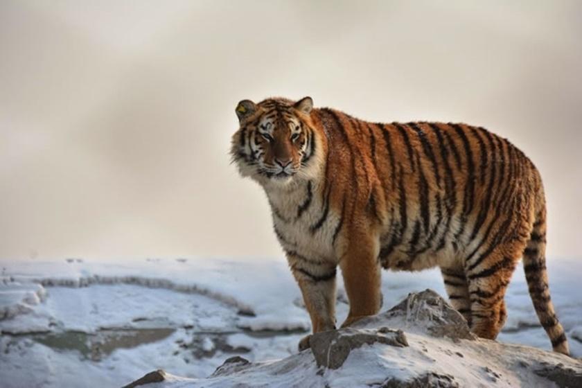 Стая амурских тигров расслабляется после сытного обеда 0 141af5 184a1a05 orig