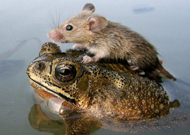 Умилительная фотоподборка… Необычные друзья среди животных;)) (21 фото)