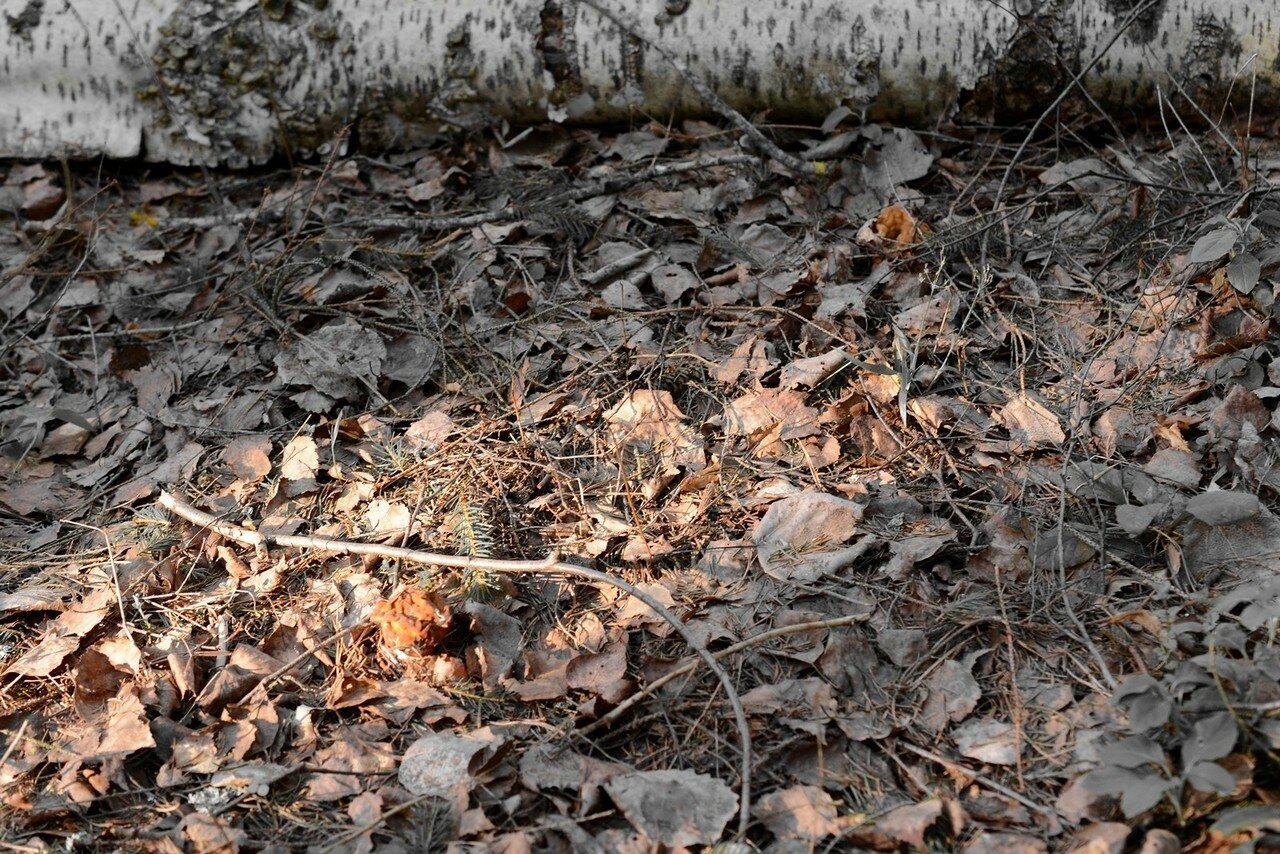 Строчок гигантский (Gyromitra gigas). Автор фото: Вячеслав Степанов