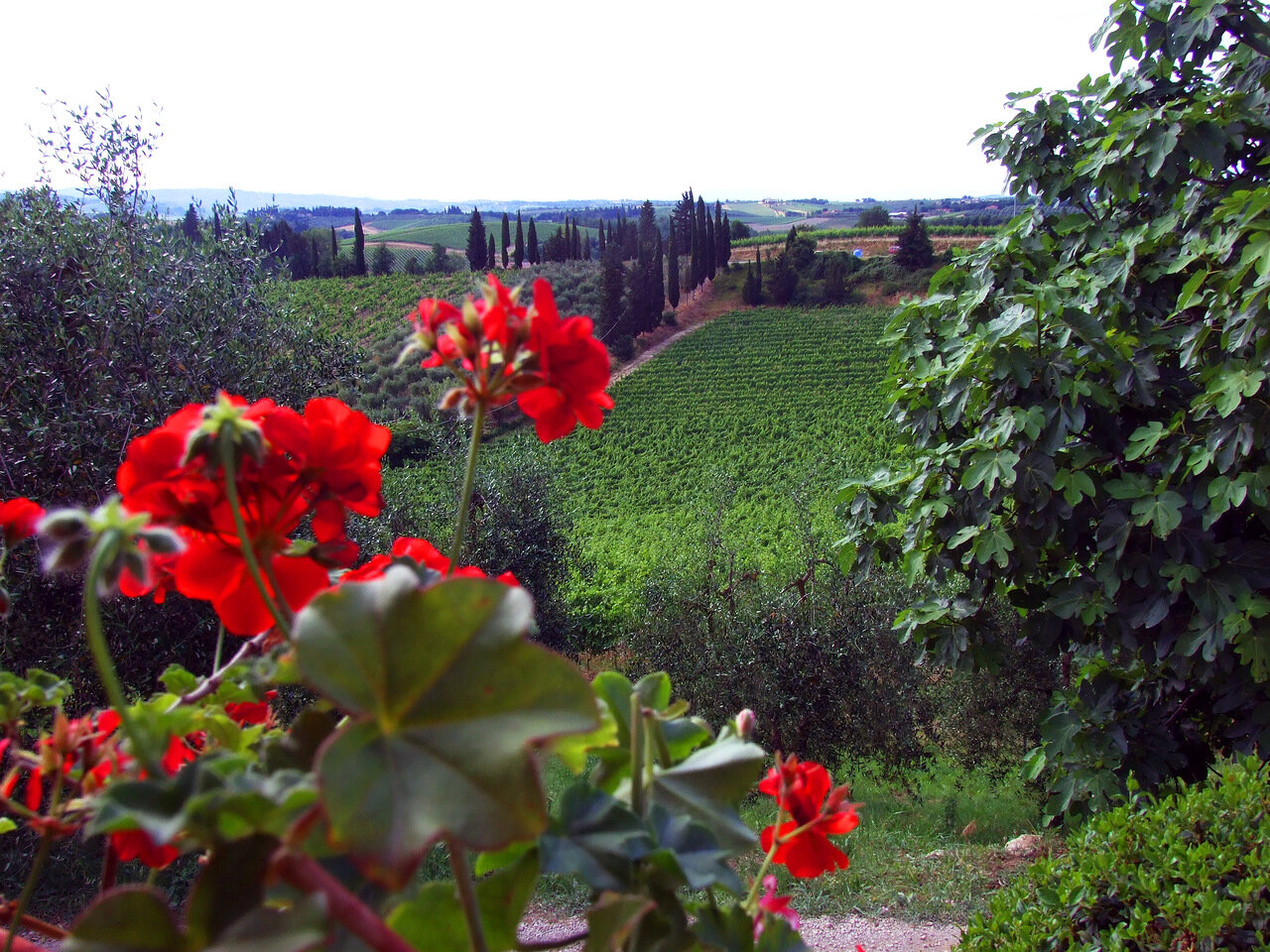 Виноградные плантации винодельни Poggio Alloro