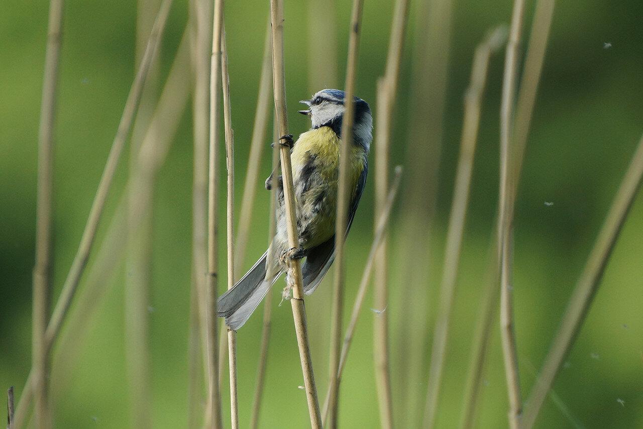Обыкновенная лазоревка (Cyanistes caeruleus). Автор фото:Привалова Марина