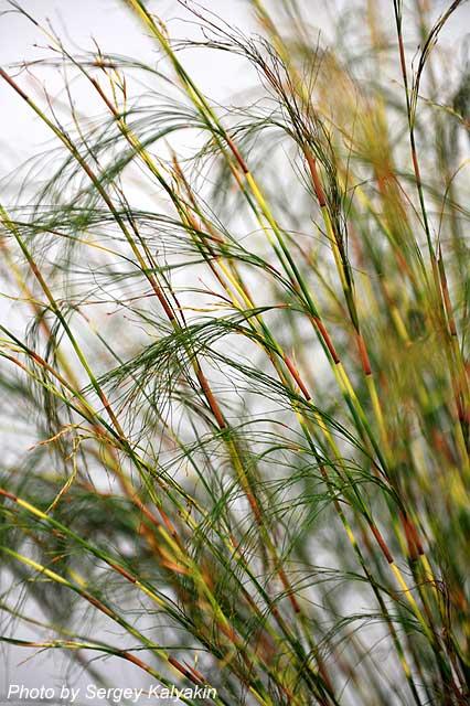 Restio tetraphyllus Cornish Gold (6).JPG