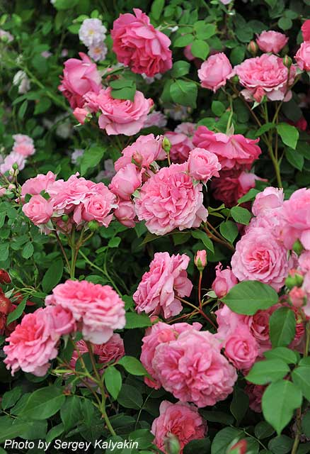 Rosa The Perse Rose (8).JPG
