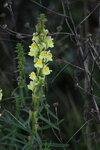 Ивановское, Льнянка обыкновенная (Linaria vulgaris)