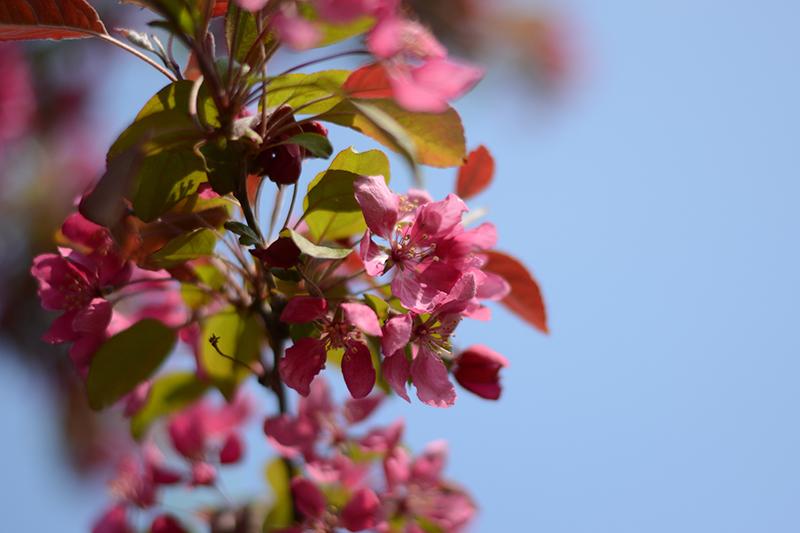 весеннее яблоня