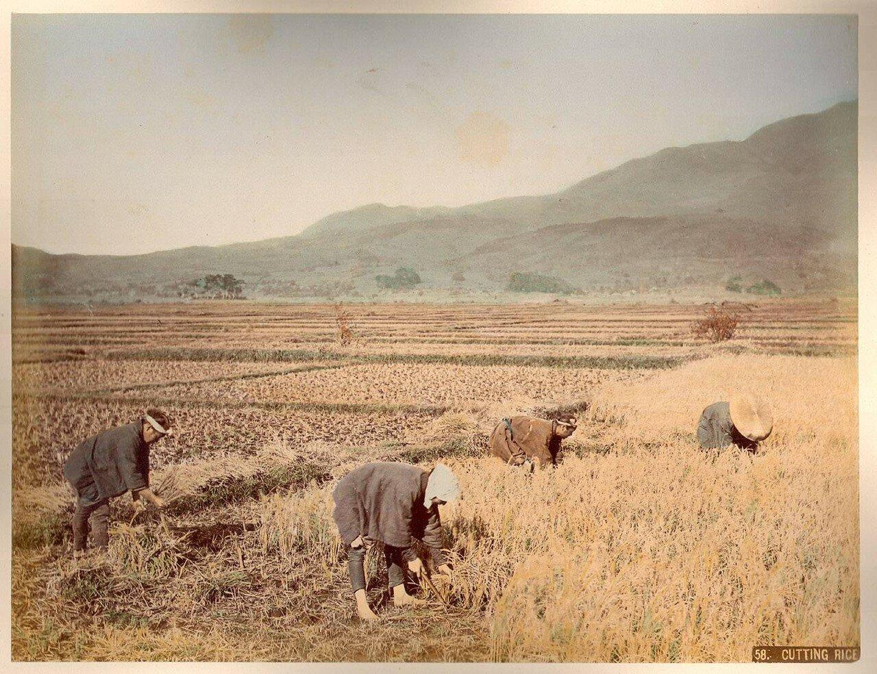 Сбор урожая риса