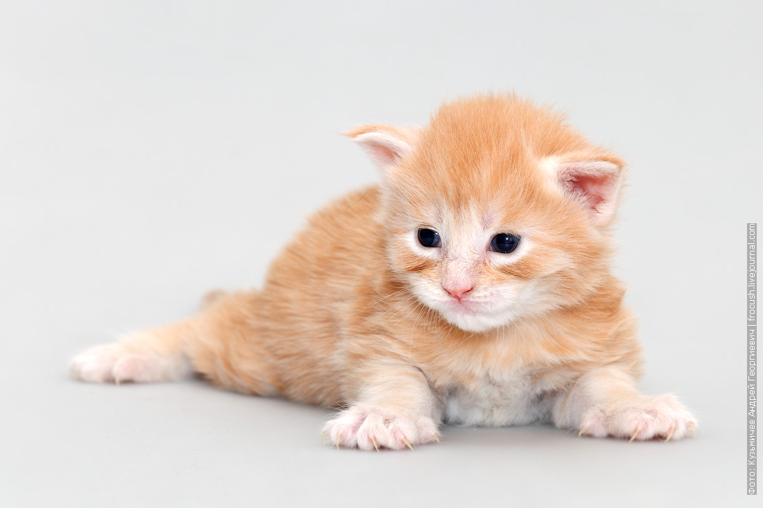 двухнедельный котенок Мейн-кун фотография