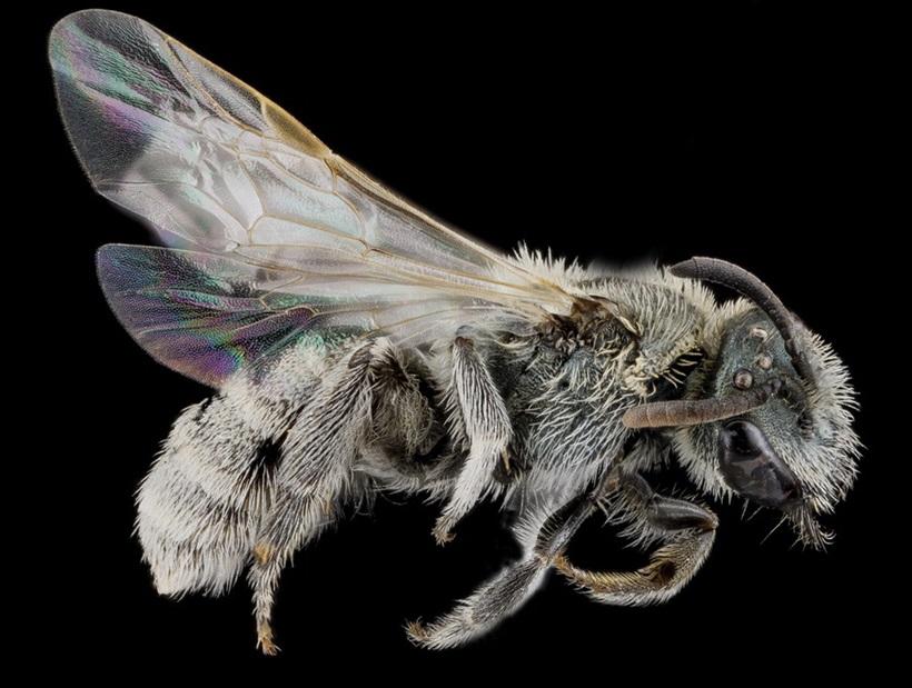 Макрофотографии разноцветных американских пчел 0 13d2ab 1d4c8071 orig