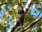 Dendrocopos minor (Linnaeus 1758) - Малый пестрый дятел, самка