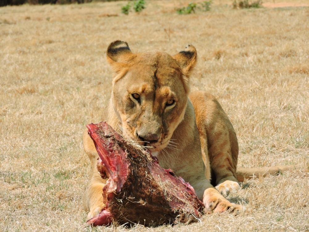 lions6.jpg