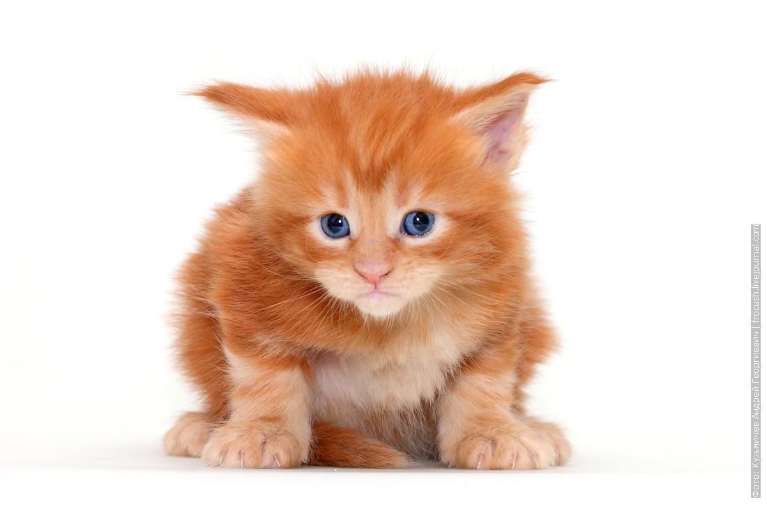 Мейн-кун котенок из московского питомника