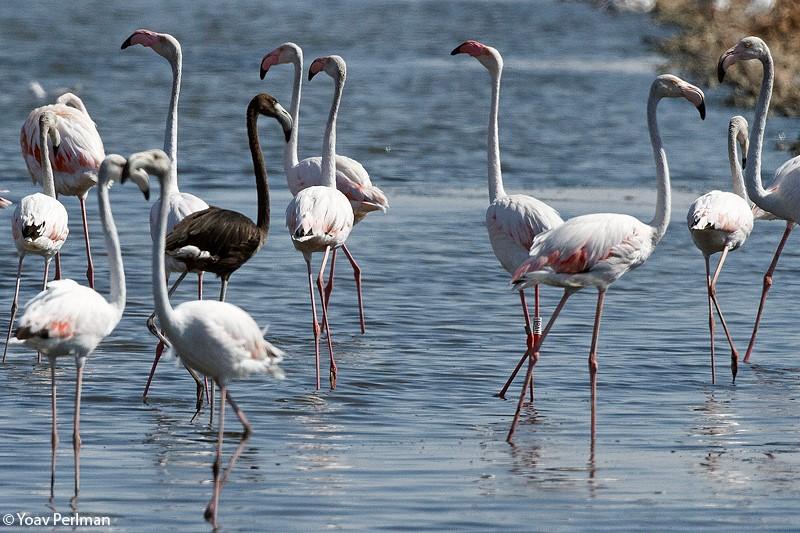 Бывает ли черный фламинго? Птицы