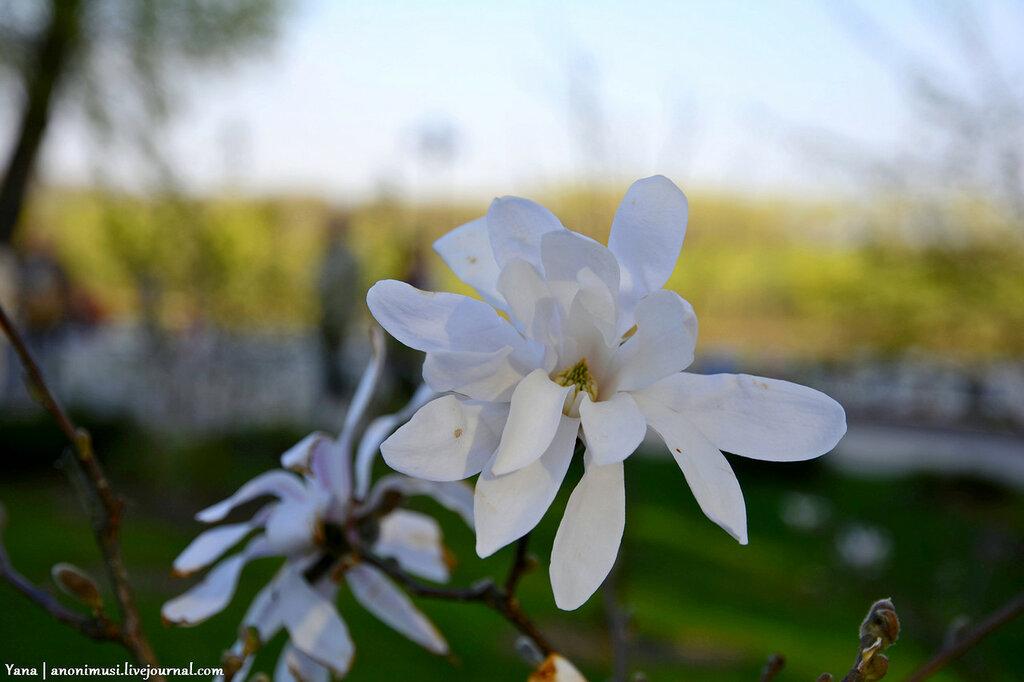 Цветет магнолия в Гомеле