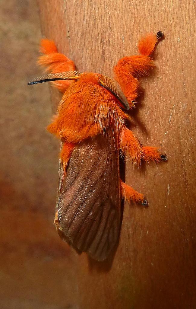 Kristalnaya-gusenica-Dalcerida-16-foto