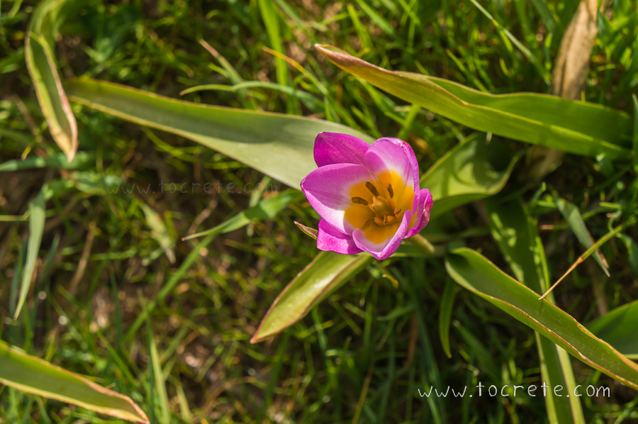 Тюльпан скальный (Tulipa saxatilis, tulipa bakeri)