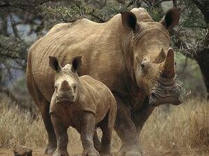 Массовый побег носорогов произошел в зоопарке Израиля
