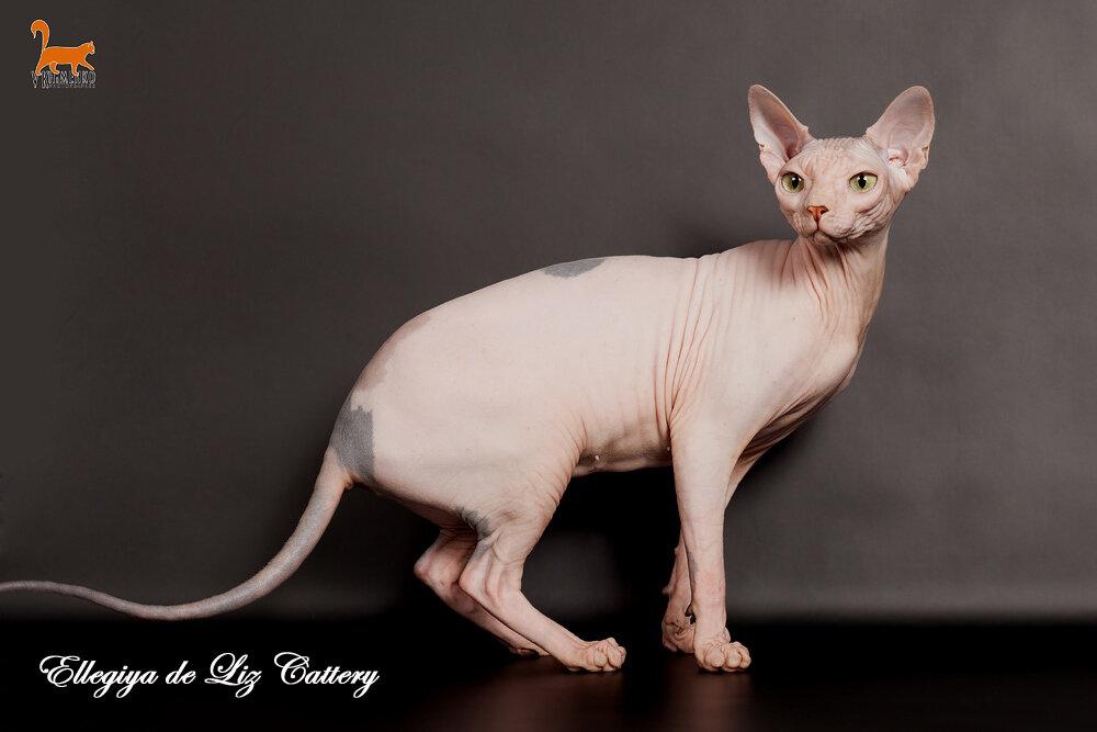 разведение кошек сфинксов