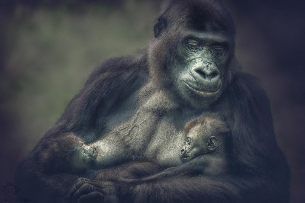 N'Gayla gorilla twins