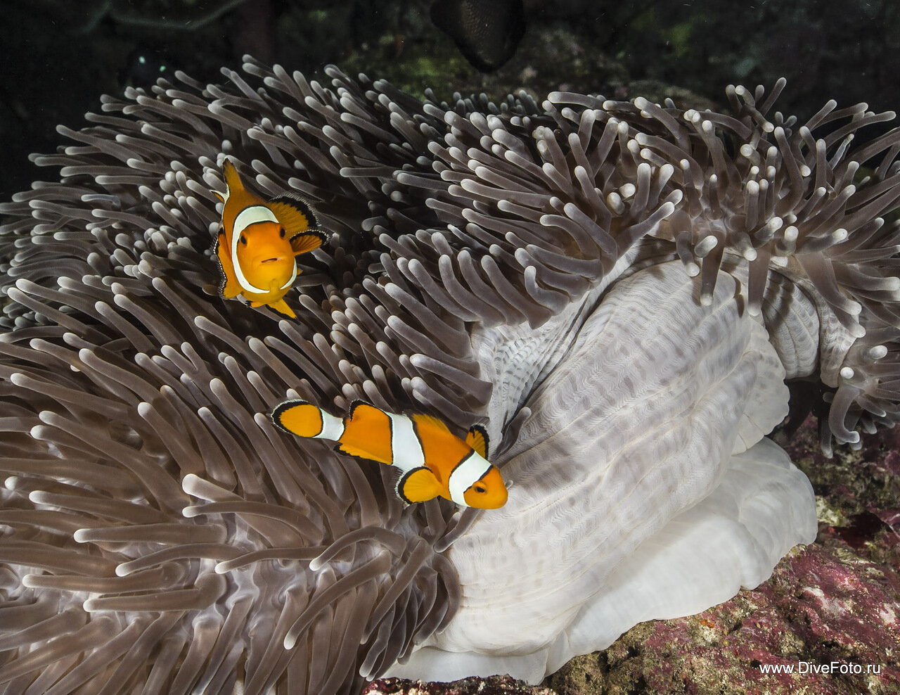 Западная рыба клоун (Немо) фото