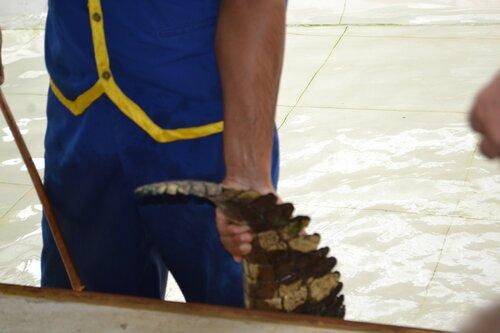 Хвост сиамского крокодила