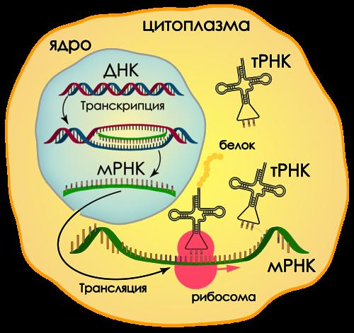 Общая схема биосинтеза белков