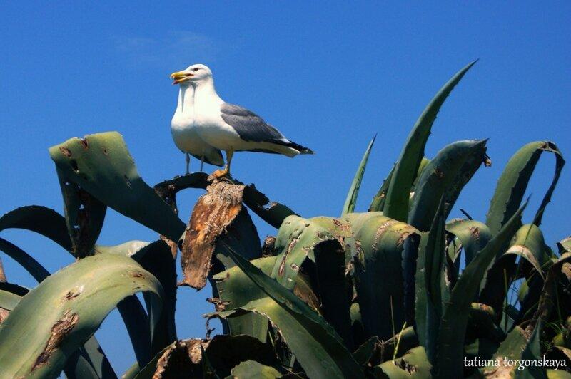 Чайки на агаве