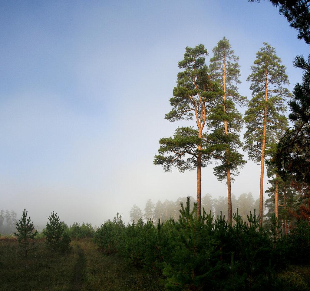 Фото Кусы, сосновый лес на рассвете в тумане