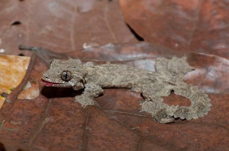 лопастехвостый геккон Кюля