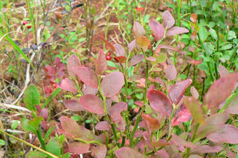 осень 15 черника