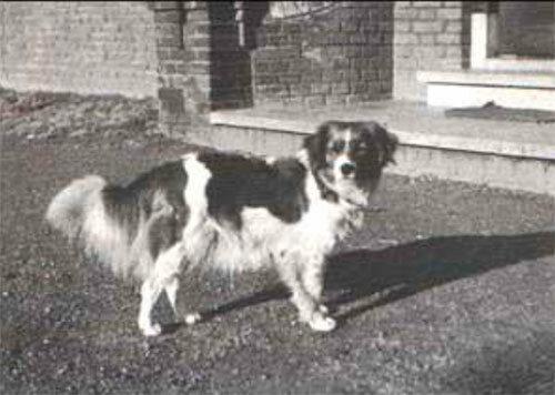 первая собака койкерхондье Томми