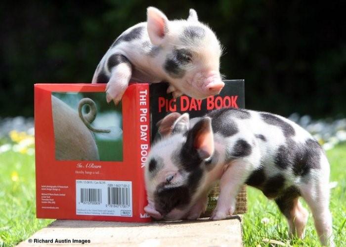 минипиги читают книги