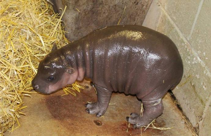 карликовый бегемот родился