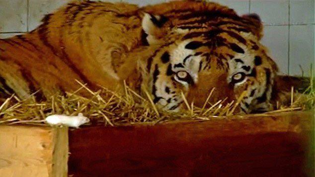 Тигр впал в такую глубокую депрессию